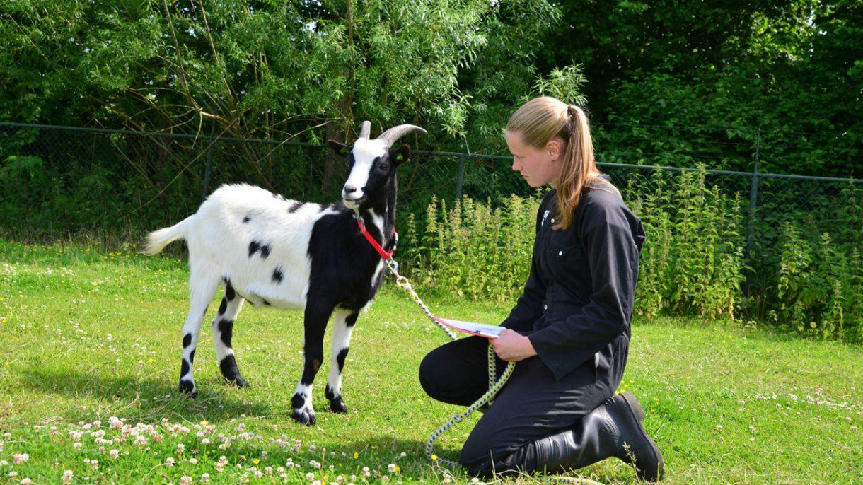 Meisje zit gehurkt bij een geit