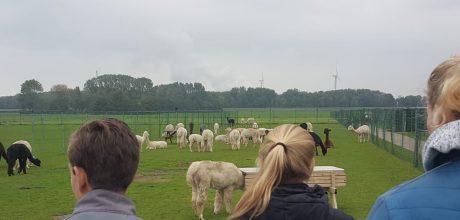 drie studenten kijken naar alpaca's